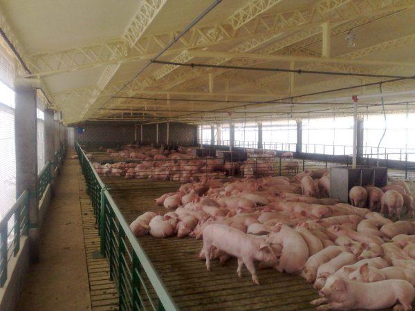 Rejas para engorde de cerdos